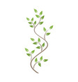 natural ornamentation with green ivy on white vector image