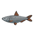 herring clupea fish sketch engraving vector image vector image