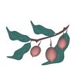 Dipterocarpaceae Fruit or Shorea Roxburghii Fruit vector image