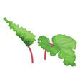 green and pink rhubarb leafs of vegetables on vector image vector image