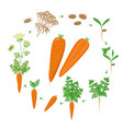 carrot plant growth stages infographic elements vector image vector image