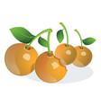 cherry or prunus sp vector image vector image
