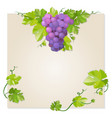 black grapes vector image vector image
