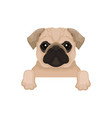 pug puppy with cute muzzle hanging on invisible vector image vector image