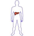 Liver in human body vector image