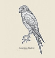 the american kestrel falco sparverius hand draw vector image