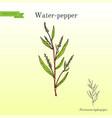water pepper persicaria hydropiper or smartweed vector image vector image