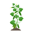 cucumber plant with ripe cucumbers growing in the vector image