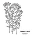 hand drawn shepherds purse plant isolated on vector image vector image