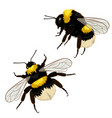 set two bumblebees isolated on a white vector image vector image
