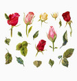 watercolor set of roses heads and leaves of vector image