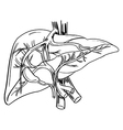 Human liver vector image