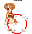 life cycle of flea vector image