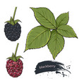 blackberry sweet fruit vector image