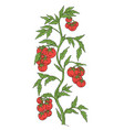 tomato vegetable plant solanum lycopersicum vector image