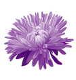 Purple Aster vector image vector image