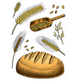 set of wheat rye spikelets and corn seeds for vector image