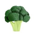 Realistic broccoli vector image vector image