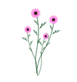 Purple Daisy Blossoms on A White Background vector image vector image