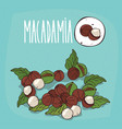 set of isolated plant macadamia nuts herb vector image