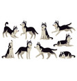 husky dog poses cartoon running sitting and vector image