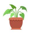 aglaonema room plant in pot vector image vector image