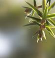 Branch twig Juniperus oxycedrus cade with needles vector image vector image