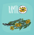 set of isolated plant ramtil flowers herb vector image vector image