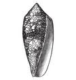 conus textilis vintage vector image vector image
