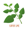 fresh green aromatic kaffir lime leaf vector image vector image
