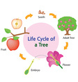 lifecycle of a tree vector image vector image