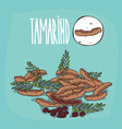 set of isolated plant tamarind fruits herb vector image vector image