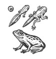 frog embryo and tadpole animal engraving vector image