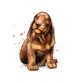 dachshund puppy from a splash watercolor hand vector image