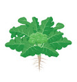 broccoli plant with the ripe broccoli fruit among vector image