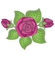 beautiful of pink rose vector image vector image