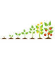 tomatoes seedling and growing vector image vector image