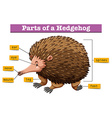 Diagram showing parts of hedgehog vector image vector image