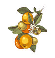hand drawn blooming tangerine - mandarin - branch vector image vector image