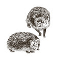 hand drawn hedgehog high detailed vector image vector image