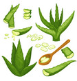 aloe vera plant cut leaves and gel in spoon vector image