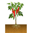 chili pepper plant vector image vector image