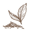 tea plant dry and fresh leaves isolated sketch vector image