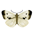 cabbage white butterfly vector image vector image