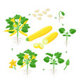 zucchini plant growth from seed sprout flowering vector image vector image