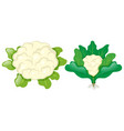 cauliflower heads with leaves vector image vector image