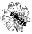 syrphidae vector image vector image