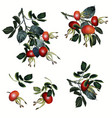 collection rose hip realistic botanical style vector image