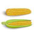 corn cobs on white background vector image