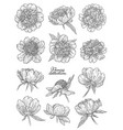peony flowers set hand drawn in lines black and vector image vector image